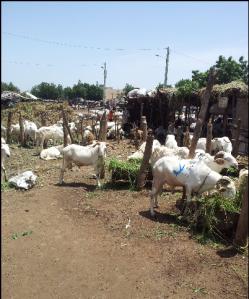 moutons_tabaski_2014